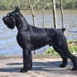 Ризеншнауцер щенки чёрного окраса, Саратов