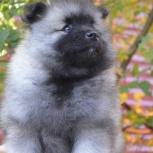 Породные щенки вольфшпица (кеесхонда), Саратов